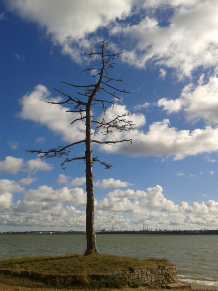 Dead Scots Pine, Fawley Oil Refinery